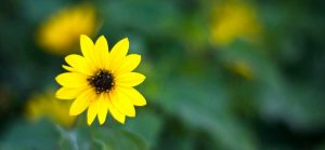 sun flower 3